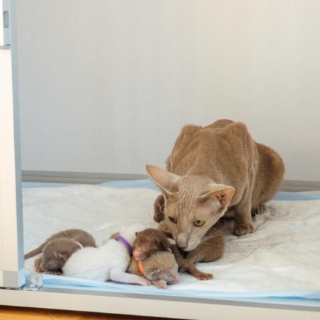 Module pension chat Braveur® - portée de chats de race Orientale